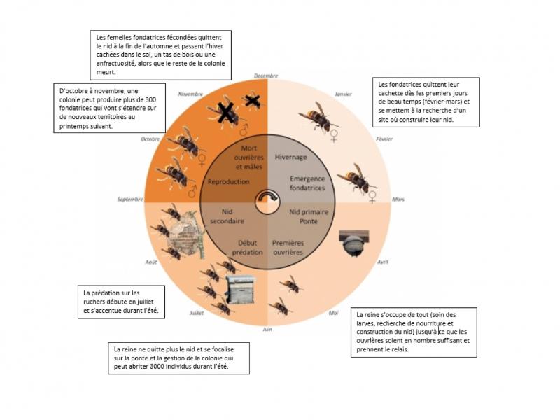 Cycle de vie du frelon asiatique